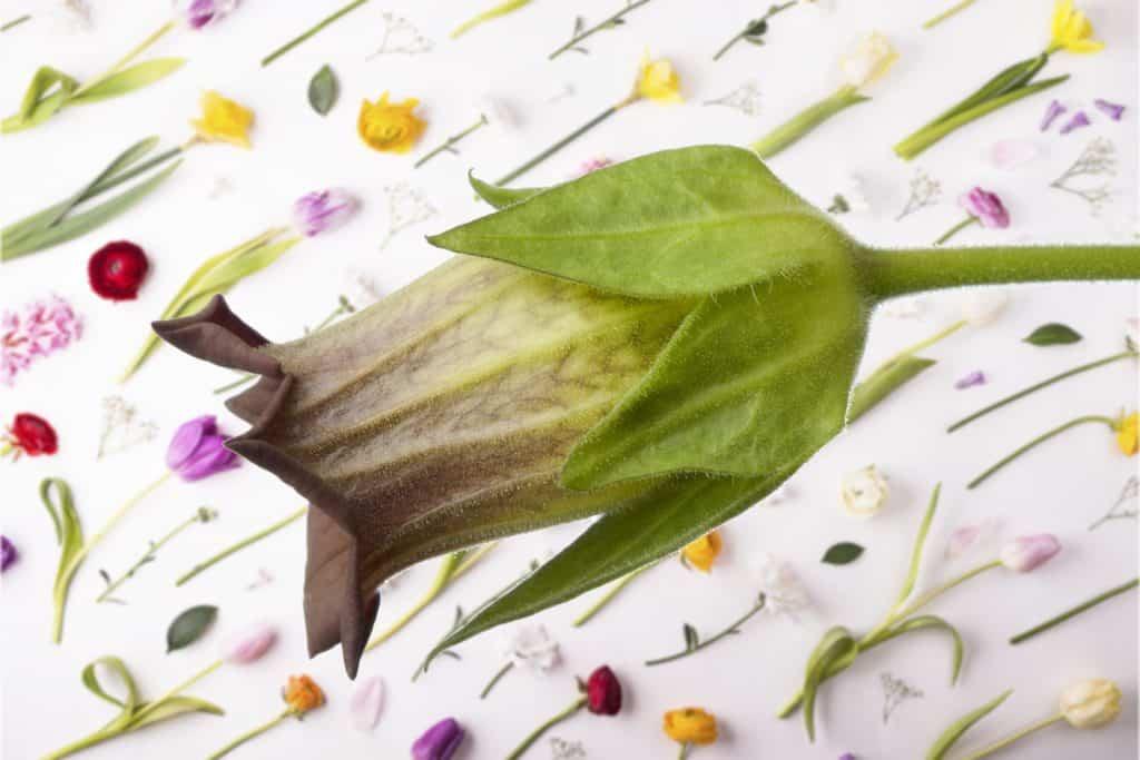 Belladona Homeopatía
