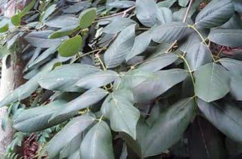 Cornejo de Jamaica